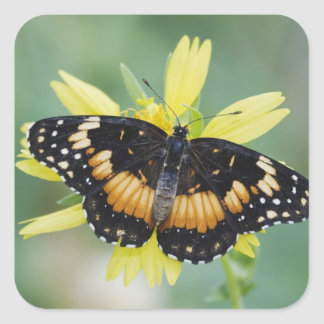 Bordered Patch, Chlosyne lacinia, adult on Square Sticker