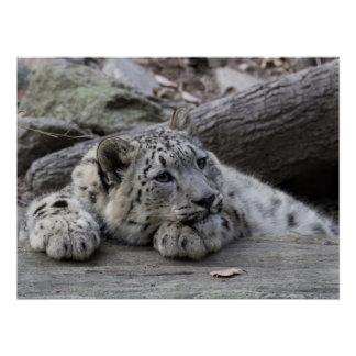 Bored Snow Leopard Cub