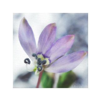 Born to be wild. Fringed Spider Flower (2) Canvas Print