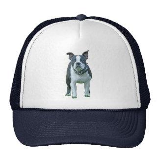 Boston terrier  1b cap