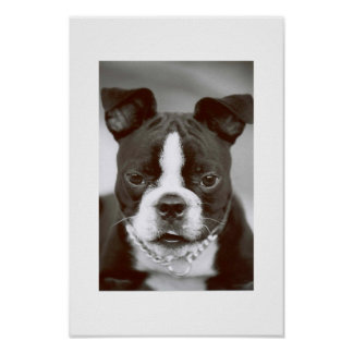 "Boston Terrier/ ""Buster-Capone"" Poster"