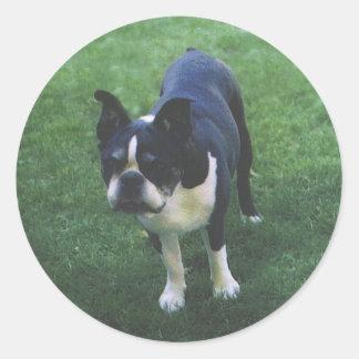 Boston Terrier:  Cutie Patootie Stickers