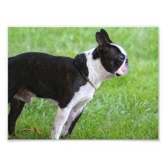 Boston Terrier dog Art Photo