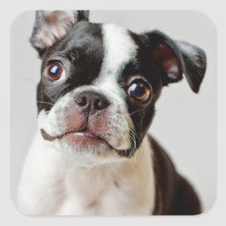 Boston Terrier dog puppy. Square Sticker