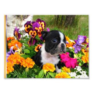 Boston terrier photo print