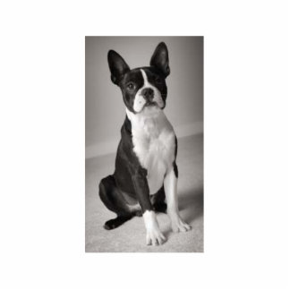 Boston Terrier Sitting Sculpture Standing Photo Sculpture