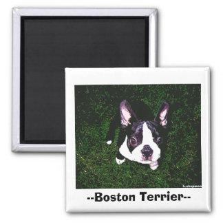 --Boston Terrier-- Square Magnet
