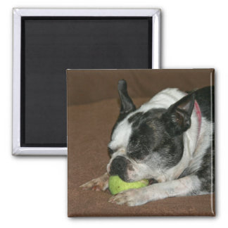 Boston Terrier with Tennis Ball - Photo Magnet