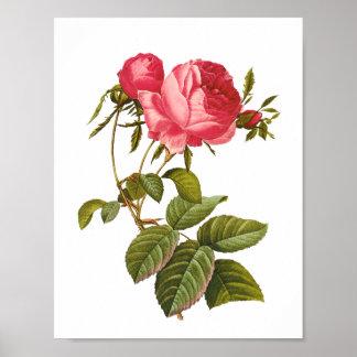 Botanical artwork vintage pink rose poster