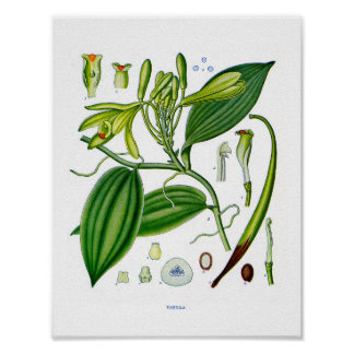 Botanical At:Vanilla Plants Poster
