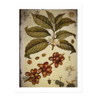 Botanical Drawing of Coffee Plant Postcard