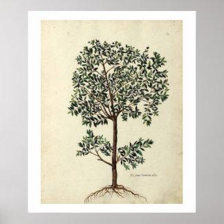 Botanical Olive Tree Poster Print