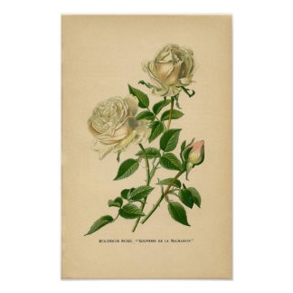 Botanical Print - Bourbon Rose