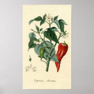 Botanical Print - Chili - Capsicum Annuum