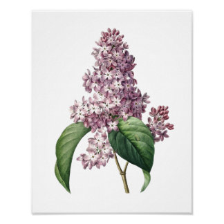 Botanical print of LILAC original by Redoute