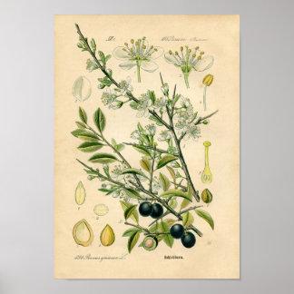 Botanical Print - Sloe (Prunus spinosa)
