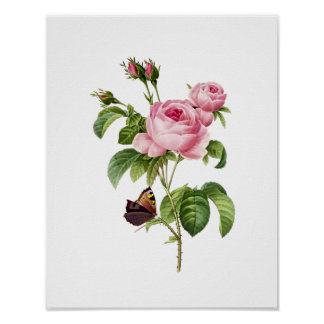 Botanical Rosa Centifolia Redoute Poster