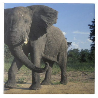 Botswana, Chobe National Park, Aggressive Bull Large Square Tile
