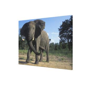 Botswana, Chobe National Park, Aggressive Bull Stretched Canvas Print