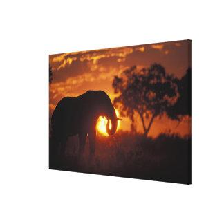 Botswana, Chobe National Park, Bull Elephant Gallery Wrap Canvas