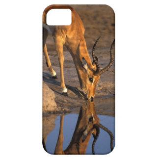 Botswana, Chobe National Park, Bull Impala iPhone 5 Covers