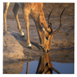 Botswana, Chobe National Park, Bull Impala Large Square Tile