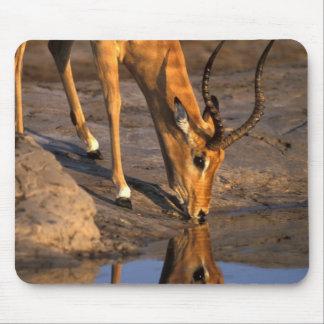 Botswana, Chobe National Park, Bull Impala Mouse Pad