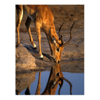 Botswana, Chobe National Park, Bull Impala Postcard