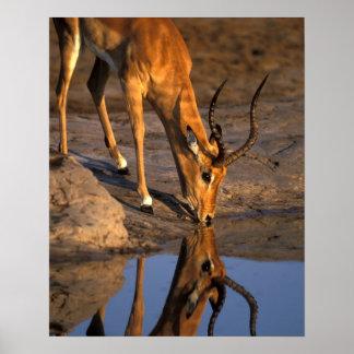 Botswana, Chobe National Park, Bull Impala Poster