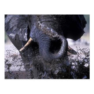 Botswana, Chobe National Park, Elephant 2 Postcard
