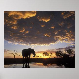Botswana, Chobe National Park, Elephant Posters