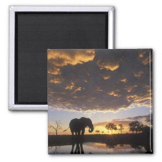 Botswana, Chobe National Park, Elephant Square Magnet