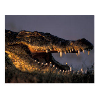 Botswana, Chobe National Park, Nile Crocodile Postcard