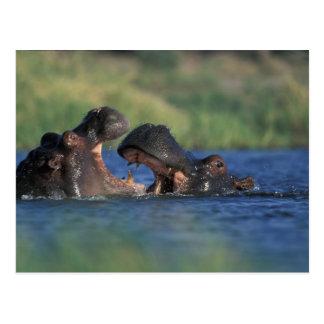 Botswana, Moremi Game Reserve, Hippopotami Postcard