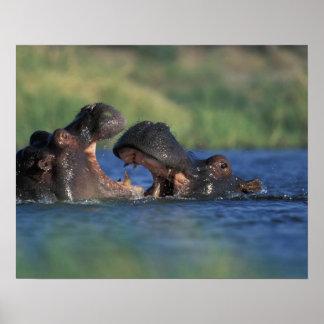 Botswana, Moremi Game Reserve, Hippopotami Poster