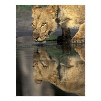 Botswana, Moremi Game Reserve, Lioness (Panthera Postcard