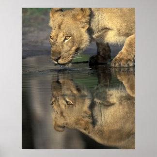 Botswana, Moremi Game Reserve, Lioness (Panthera Poster