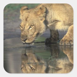 Botswana, Moremi Game Reserve, Lioness (Panthera Square Sticker