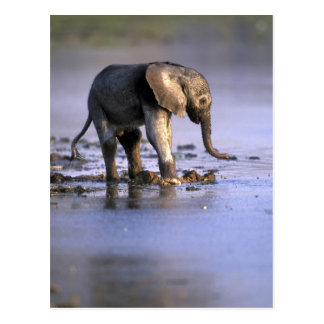 Botswana, Moremi Game Reserve, Young Elephant Postcard