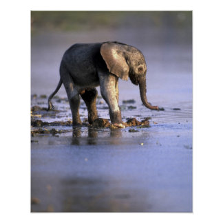 Botswana, Moremi Game Reserve, Young Elephant Poster