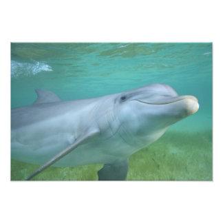 Bottlenose Dolphin Tursiops truncatus), Photo Print