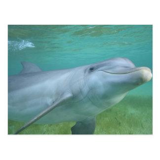 Bottlenose Dolphin Tursiops truncatus), Postcard