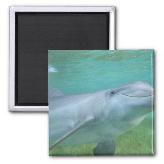 Bottlenose Dolphin Tursiops truncatus), Square Magnet