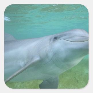 Bottlenose Dolphin Tursiops truncatus), Square Sticker