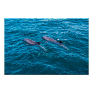 Bottlenose Dolphins Poster