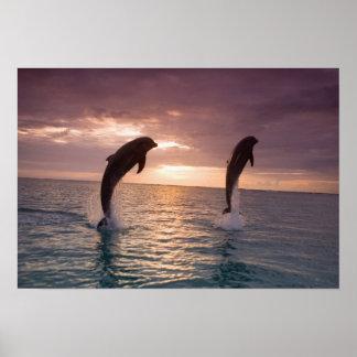 Bottlenose Dolphins Tursiops truncatus) 15 Poster