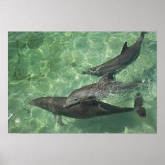 Bottlenose Dolphins Tursiops truncatus) 16 Poster