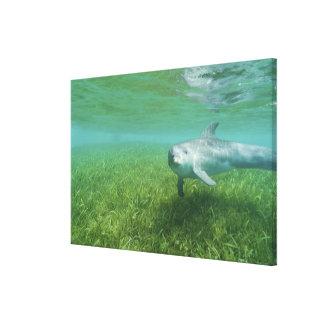 Bottlenose Dolphins Tursiops truncatus) 17 Gallery Wrap Canvas