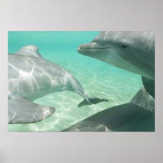Bottlenose Dolphins Tursiops truncatus) 19 Poster