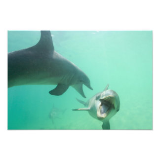 Bottlenose Dolphins Tursiops truncatus) 20 Photograph
